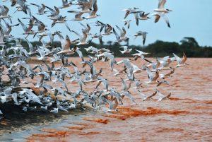 Data: 26/11/2015 - Regência - Gaivotas na foz do Rio Doce, poluída pela lama que veio da barragem da mineradora Samarco - Editoria: Vida - FOTO: Fernando Madeira - GZ